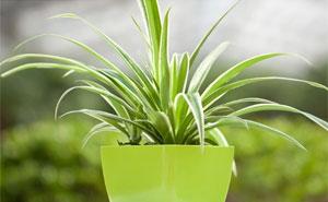 哪些绿植宜摆放在办公室?